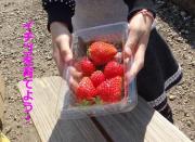苺・いちご・イチゴを育てよう!