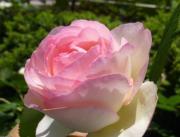 薔薇とココ(チワワ)ちゃん