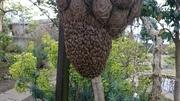 趣味の日本蜜蜂飼育
