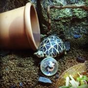 インドホシガメの飼育や生活