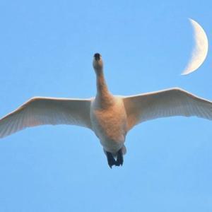 白鳥大好き