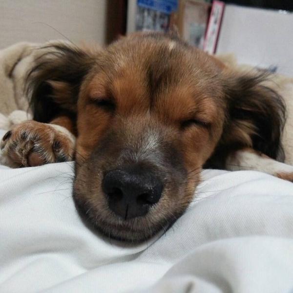 小型犬好き集まれ!!!みんな小型犬の可愛さ共有しましょ(*'▽')