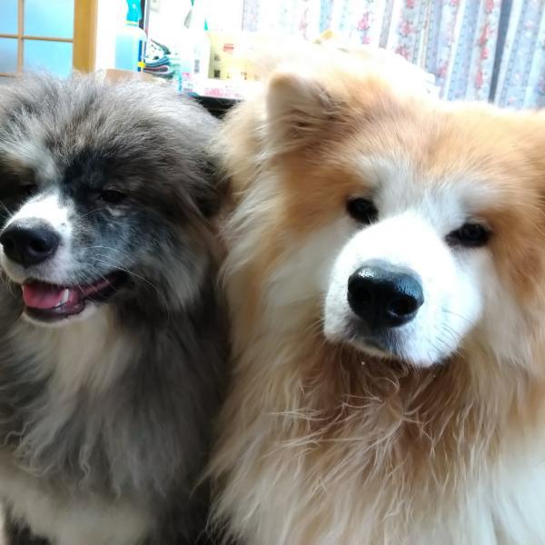 秋田犬だけどむくむくです。