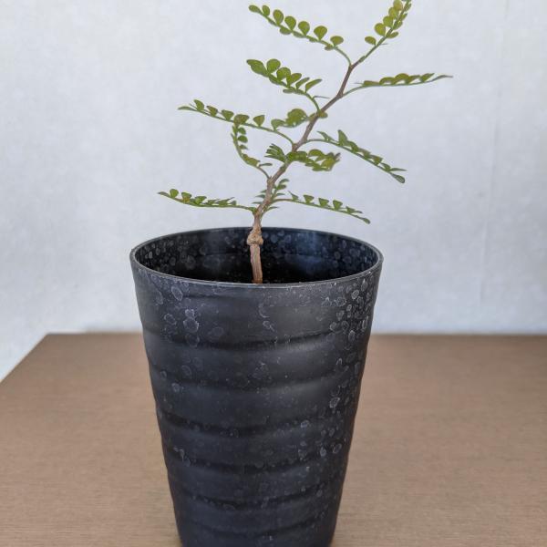 塊根植物/コーデックス