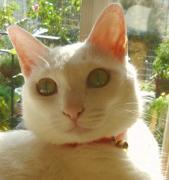 白い猫ちゃん・・あつまれ〜♪