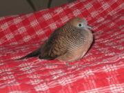 鳩、ハト、はと、Pigeon、Dove