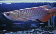 熱帯魚の王様アロワナ