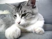 グレー縞の猫 サバトラ♪