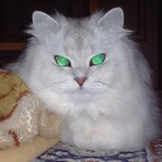 緑色の目の猫