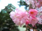 さくら♪サクラ♪桜